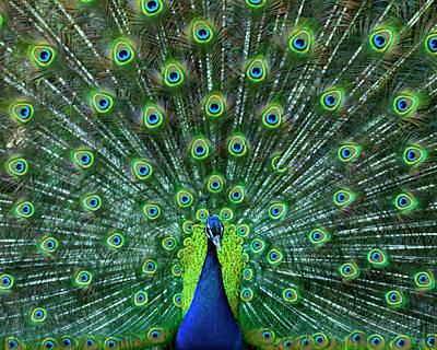 Photograph - Peacock Colors by Elsa Marie Santoro