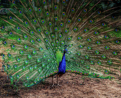 Photograph - Peacock Dance by Lilia D