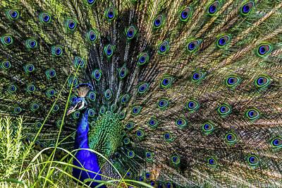 Photograph - Peacock by Daria Klepikova