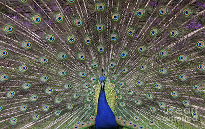 Iridescent Photograph - Peacock Display by Tim Gainey