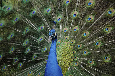 Photograph - Peacock Displaying Closeup by Bradford Martin