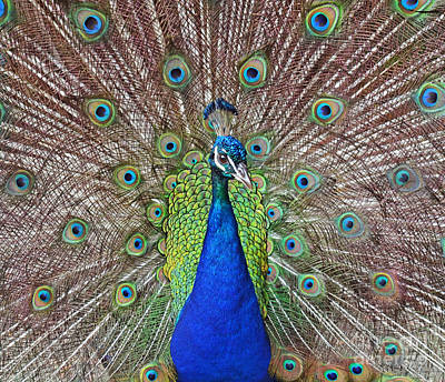 Photograph - Peacock Displaying His Plumage by Jim Fitzpatrick