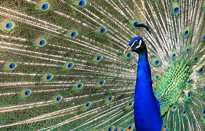 Photograph - Peacock by Elenarts - Elena Duvernay photo