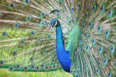 Photograph - Peacock by Eunice Gibb
