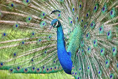Photograph - Peacock by Eunice Gibb