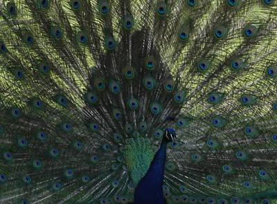 Peacock Eyes Art Print by Michelle Miron-Rebbe