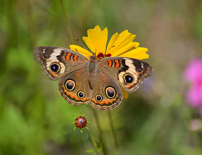 Photograph - Peacock Eyes Of Buckeye Butterfly by rd Erickson