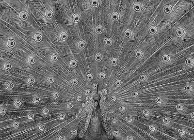 Peacock Fanfare - Black And White Art Print by Diane Alexander