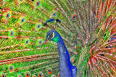 Peacock Fanned Tail Feathers Art Print by Tracie Kaska