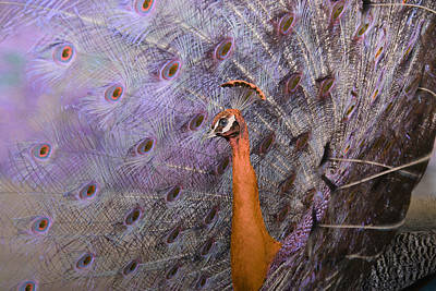 Photograph - Peacock Fantasy by Fraida Gutovich