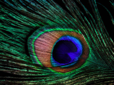 Birds Royalty-Free and Rights-Managed Images - Peacock Feather by June Marie Sobrito