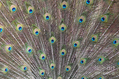Photograph - Peacock Feathers by Carol Groenen