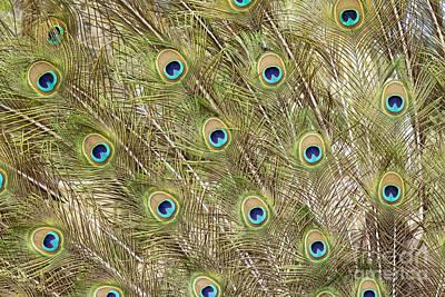 Photograph - Peacock Feathers by Elaine Teague