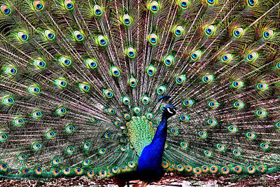 Henry Doorly Zoo Photograph - Peacock Feathers by Karen Scovill