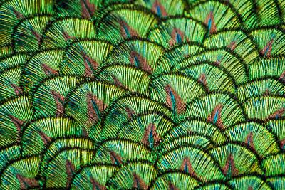 Photograph - Peacock Feathers by Paul Sharman