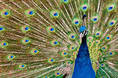 Photograph - Peacock by Gary Lengyel