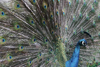 Photograph - Peacock by Giovanni Malfitano