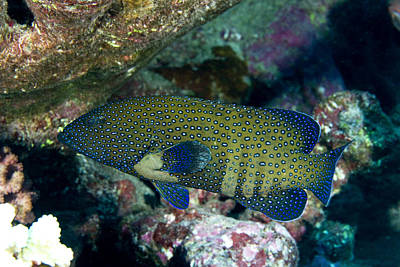 Peacock Grouper Wall Art - Photograph - Peacock Grouper Cephalopholis Argus by Tim Laman