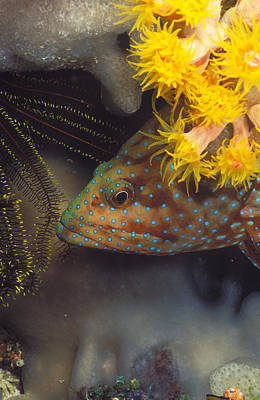 Peacock Grouper Wall Art - Photograph - Peacock Grouper, Cephalopholus Argus by James Forte
