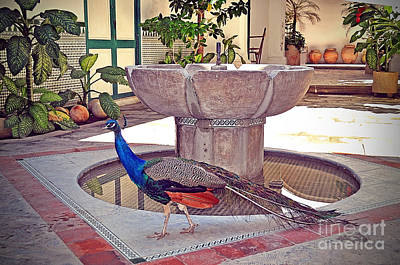 Peacock - Havana Cuba Art Print by Chris Andruskiewicz