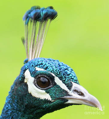 Photograph - Peacock Head by Colin Rayner