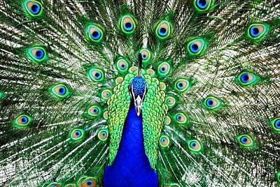 Photograph - Peacock Head On Shot by Matt Harang
