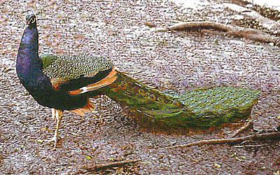 Photograph - Peacock In Austin Texas by Merton Allen