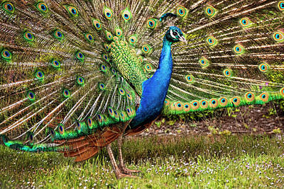 Photograph - Peacock In Beacon Hill Park by Peggy Collins
