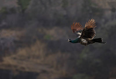 Peacock In Flight Art Print by Ramabhadran Thirupattur