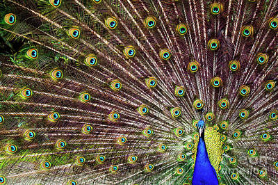 Photograph - Peacock In Full Display by Marcel van Kammen