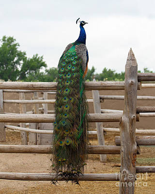 Peacock In The Bents Fort Corral Print by Catherine Sherman