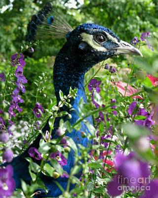 Photograph - Peacock In The Garden by Misha Bean