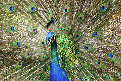 Photograph - Peacock Indian Blue by Sharon Mau