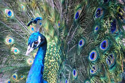 Photograph - Peacock by Julia Ivanovna Willhite