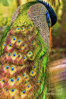 Photograph - Peacock by Kate Brown