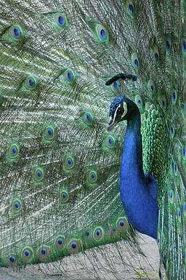 Photograph - Peacock by Keith Boone