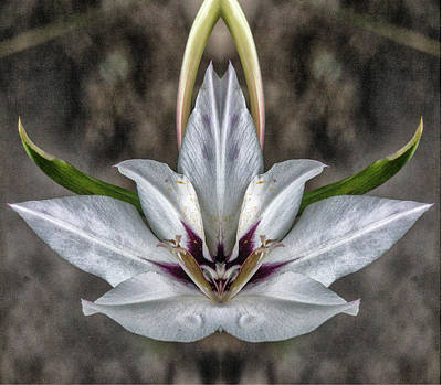 Photograph - Peacock Lily 2 Pareidolia by Constantine Gregory
