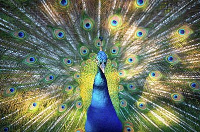 Birds Royalty-Free and Rights-Managed Images - Peacock Magnolia Gardens Charleston SC Wildlife Nature by Dave Allen