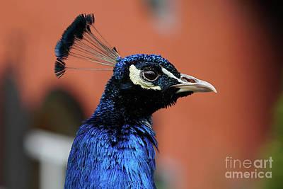 Photograph - Peacock Male Head by Giovanni Malfitano