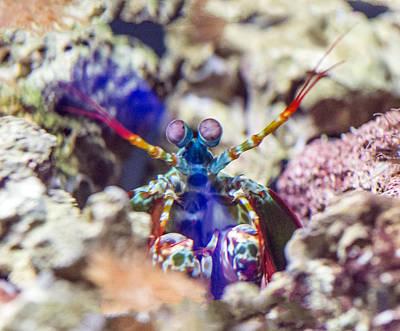 Photograph - Peacock Mantis Shrimp Portrait by William Bitman