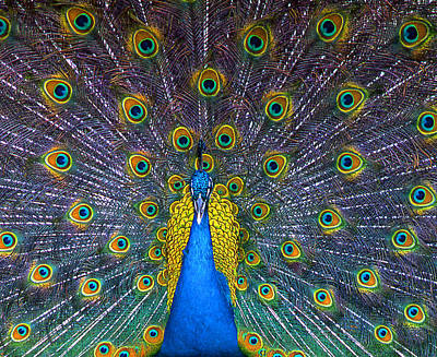 Wall Art - Photograph - Peacock by Mary McGrath