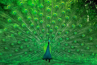 Mind Blowing Photograph - Peacock by Navneet Choudhary