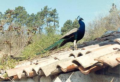 Photograph - Peacock On The Roof Of French Farmhouse by Christopher Kirby