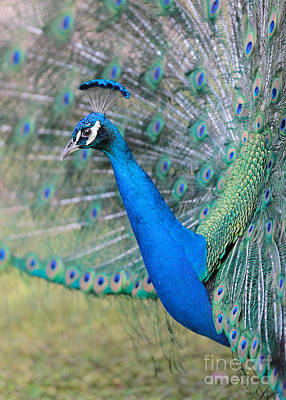 Photograph - Peacock Perspective by Carol Groenen