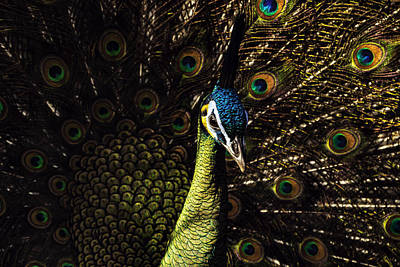 Photograph - Peacock by Pete Federico