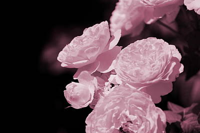 Peacock Pink Cabbage Roses On Black Art Print