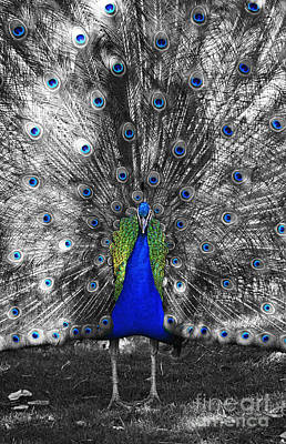 Photograph - Peacock Plumage Body And Eyes Color Splash Black And White Selective Color Digital Art by Shawn O'Brien