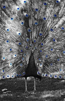 Photograph - Peacock Plumage Color Splash Black And White Selective Color Digital Art by Shawn O'Brien