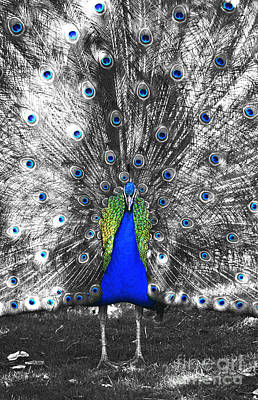 Photograph - Peacock Plumage Color Splash Selective Color Film Grain Digital Art by Shawn O'Brien