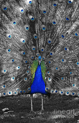 Photograph - Peacock Plumage Color Splash Selective Color Poster Edges Digital Art by Shawn O'Brien